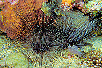mysid or opossum shrimp sheltering in sea urchin, Diadema antillarium, Commonwealth of Dominica (Eastern Caribbean Sea), Atlantic