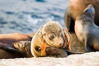 Australian fur seal (Arctocephalus pusillus doriferus) pup with trawl netting entanglement causing painful wound. Kanowna Island, Bass Strait, Australia