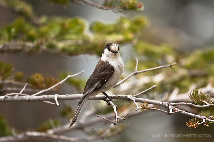 The Gray Jay, aka Canada Jay or Whiskey Jack (my favorite name), is known as a notorious camp robber. Hurricane Ridge, Olympic National Park.