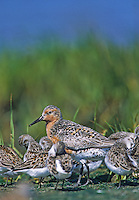 Red Knot, in a salt marsh, with other shorebirds.  Fortesque, New Jersey
