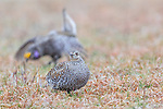 Female and male sharp-tailed grouse on a lek in Namekagon Barrens.