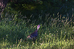 Eastern wild turkey walking along the forest's edge in northern Wisconsin.