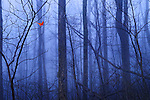 Red Cardinal in a Blue Forest