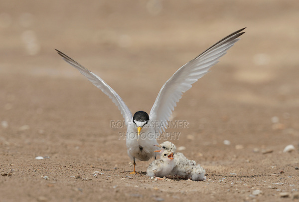 Least Tern (Sterna antillarum), adult cooling off young with water, Port Isabel, Laguna Madre, South Padre Island, Texas, USA