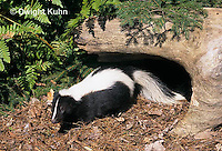 MA09-024z  Striped Skunk - in forest - Mephitis mephitis