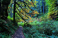 "A trail along ""Winter Trail"", during the Autumn, at Silver Falls State Park in Oregon, USA."