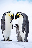 Snow Hill Island, Antarctica. A proud pair of emperor penguins nestling and bonding with their chick.