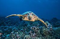 hawksbill turtle, Eretmochelys imbricata, Rangiroa, French Polynesia, Pacific Ocean