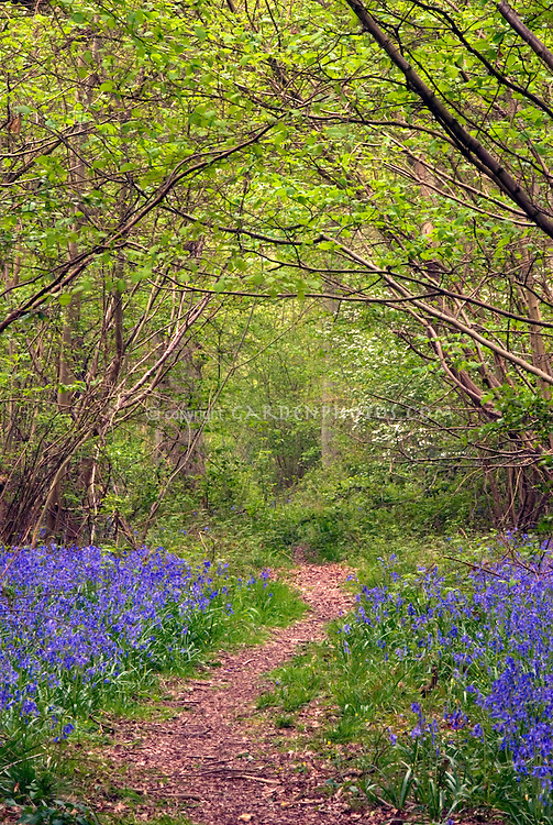 English Bluebells in spring bloom Hyacinthoides non-scripta in England woodlands