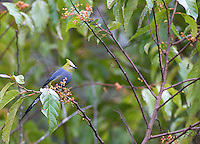 The long-tailed silky flycatcher is a beautiful bird found in the central highlands of Costa Rica.