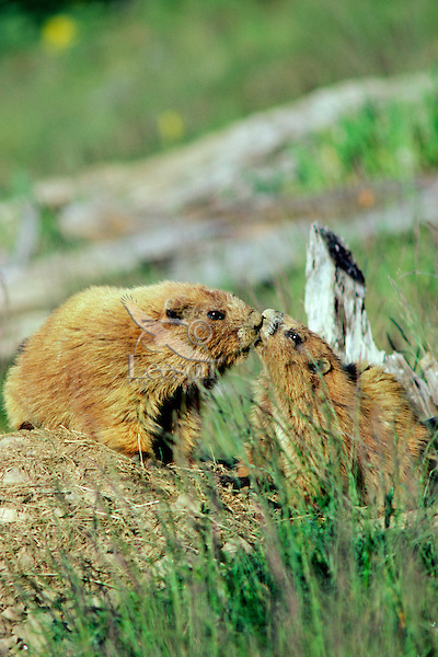 Olympic Marmots (Marmota olympus) greeting one another.  Olympic National Park, WA.  Summer.