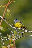 Male MacGillivray's Warbler (Oporornis tolmiei).  Western U.S., June.