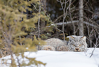 What a thrill to track and find my first Canada lynx on foot. Unfortunately, it never posed for us completely in the open. After resting for a while, it moved off into the thicker vegetation.