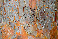 Zimmermannsbock, Paarung, Kopula, Kopulation, Zimmermanns-Bock, Zimmermanns-Bockkäfer, Zimmerbock, Zimmererbock, Schneiderbock, Acanthocinus aedilis, Cerambyx aedilis, Timberman beetle, Siberian timberman, Siberian timberman beetle, copulation, pairing