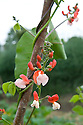 Red and pink flowers of runner bean 'St George', mid July.