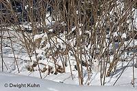 MA19-520z  Snowshoe Hare camouflaged in snow, Lepus americanus