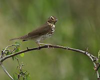 A woodland bird of the East, the Wood Thrush is best known for its hauntingly beautiful song. A large and heavily spotted thrush, it is a bird of the interior forest, seldom seen outside the deep woods.