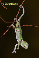 CH46-589z  Veiled Chameleon just hatched young, Chamaeleo calyptratus
