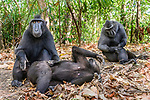 Sulawesi or Celebes crested macaques or Sulawesi or Celebes black macaques (Macaca nigra)(known locally as yaki or wolai) grooming. Tangkoko National Park, Sulawesi, Indonesia.