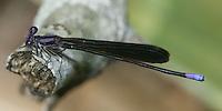 Variable Dancer (Argia fumipennis fumipennis) Damselfly - Male (fumipennis subspecies), Oscar Scherer State Park, Osprey, Sarasota County, Florida