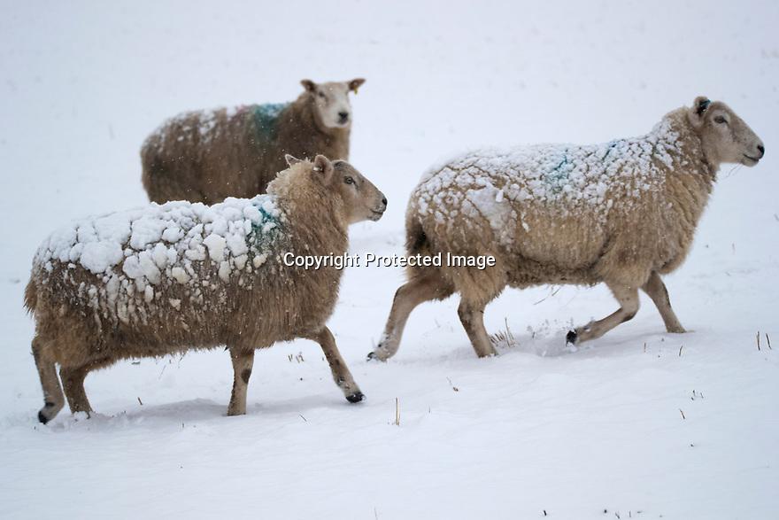 29/12/17<br /> <br /> Sheep with snow on their backs near Biggin, Derbyshire.<br /> <br /> All Rights Reserved F Stop Press Ltd. +44 (0)1335 344240 +44 (0)7765 242650  www.fstoppress.com