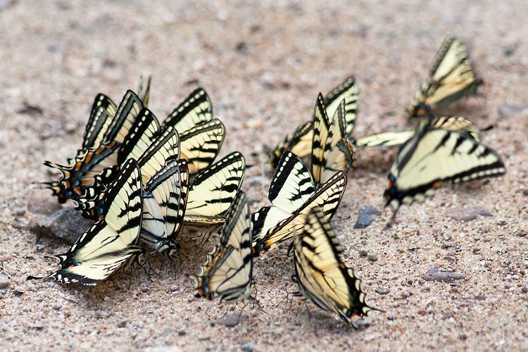 Puddling male Eastern Tiger Swallowtail butterflies.