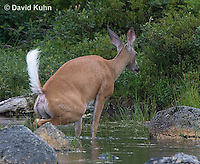 0623-1032  Northern (Woodland) White-tailed Deer Urinating into Water, Odocoileus virginianus borealis  © David Kuhn/Dwight Kuhn Photography