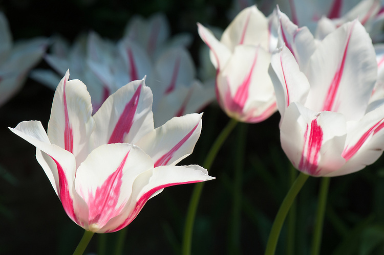 Tulip 'Marilyn' (Lily-flowered Group), late April.