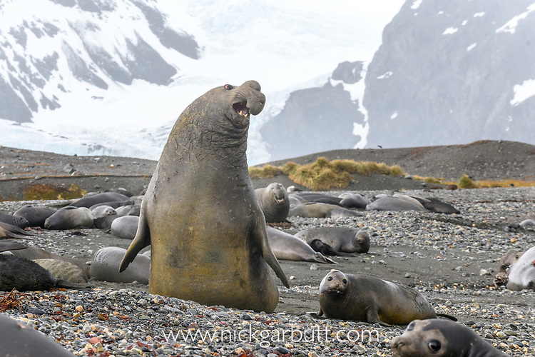 Male Southern elephant seal (Mirounga leonina) in aggressive posture. St Andrews Bay, South Georgia, South Atlantic.