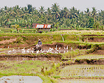 A farmer outside Ubud (Bali, Indonesia) prepares a rice paddy for planting.  A flock of white wading birds always gather around, seeking bugs and food that may be surfaced whenever the farmers begin to churn up their fields.