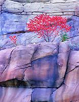 Fall colored sumac. Red Rock Secret Mountain Wilderness, Arizona