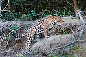 Female Jaguar (Panthera onca palustris) walking along the bank of the Cuiaba River. Near Porto Jofre, northern Pantanal, Mato Grosso State, Brazil.