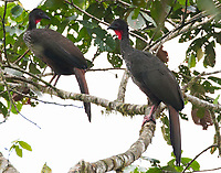 Crested guan pair
