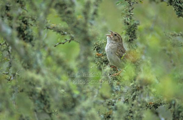 Cassin's Sparrow, Aimophila cassinii, male singing, Choke Canyon State Park, Texas, USA, April 2002