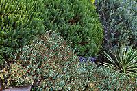 Veronica (Hebe) odora 'New Zealand Gold' green upper left, Veronica (Hebe) glaucophyllus hort. lower bottom, Veronica (Hebe) 'Western Hills' upper right corner, Yucca gloriosa 'Variegata' lower right corner in Elisabeth Miller Botanical Garden