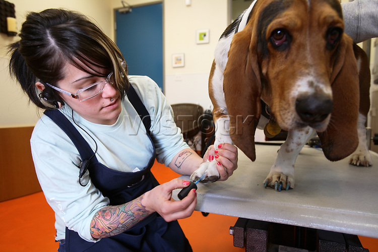 Hotel staffer Vanessa Slater applies some blue nail polish on Marley, a 3-year-old Basset Hound, at the salon of the Wag Hotel in San Francisco, CA, on Saturday, May 13, 2007. The Wag hotel, a luxury resort for dogs, opened in San Francisco on Saturday, May 12, 2007. It offers over 230 rooms and suites specifically designed for its four-legged guests as well as spa services such as pedicures, facials, massage and grooming. <br /> <br /> <br /> <br /> <br /> <br /> (Bildtechnik: sRGB, <br /> <br /> 35.42 MByte vorhanden)