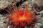 Milne Bay, Papua New Guinea; brightly colored, red Sea Urchin (Diadematidae) , Copyright © Matthew Meier, matthewmeierphoto.com All Rights Reserved