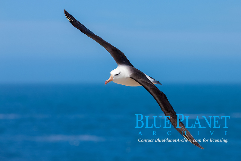 black-browed albatross, Thalassarche melanophris, in flight, Falkland Islands