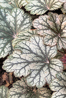 Heuchera Rave On silver leaves