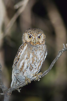 Elf Owl, Micrathene whitneyi, adult, Madera Canyon, Arizona, USA, May 2005