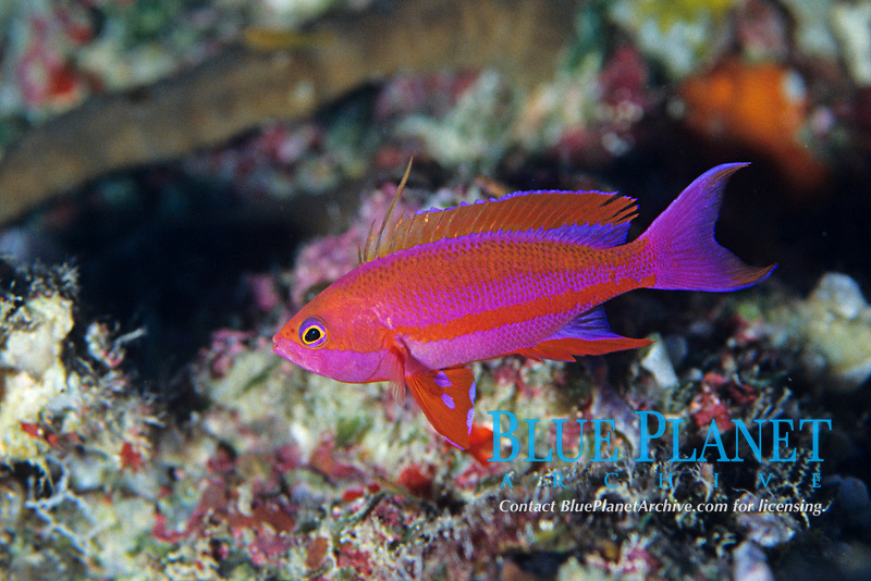 Randall's fairy basslet, Psedanthias randalli, Palau, Belau, Pacific Ocean