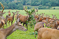BNPS.co.uk (01202 558833)<br /> Pic: Longleat/BNPS<br /> <br /> A quarter-tonne stag is gearing up for the rutting season by covering his already-impressive antlers with a headdress of branches and grass.<br /> <br /> Red deer stag Hazard has a harem of female deer but the bizarre-looking headgear will help make sure he attracts the most ladies.<br /> <br /> It is one of a series of adaptations male deer make as they enter the rutting season, as only the most powerful males attract the largest group of hinds.<br /> <br /> Hazard lives at Longleat Safari Park in Wiltshire and is the biggest stag in the 100-plus herd.