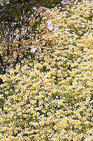 Yellow flowering wildflower Limnanthes douglasii, meadowfoam Menzies California native plant garden