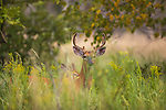 White-tailed buck in an early autumn field.