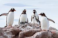gentoo penguin parent, Pygoscelis papua, with chicks in Antarctica, Southern Ocean