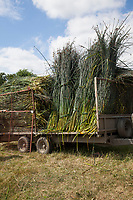 The bundles of freshly harvested rush are loaded onto a trailer