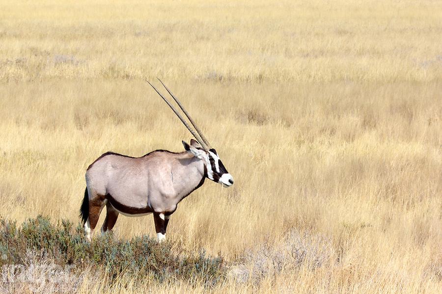 Oryx in Etosha, Namibia