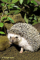 MA42-002z  African Pygmy Hedgehog - Erinaceus albiventris