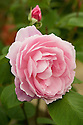 Rosa Mortimer Sackler ('Ausorts'), a potted English rose from David Austin. The right to name this rose was auctioned on behalf of The National Trust to raise funds for their gardens. It was bought by Mrs. Sackler for her husband Mortimer's birthday.