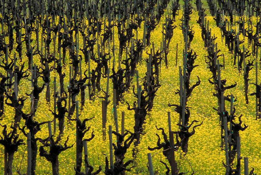 NAPA VALLEY VINEYARD EARLY SPRING. NAPA VALLEY CALIFORNIA USA.